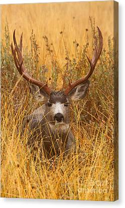 Canvas Print featuring the photograph Rainy Mountain Buck by Aaron Whittemore
