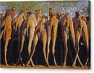 Canvas Print featuring the photograph Rajasthan Camel Station by Dennis Cox WorldViews