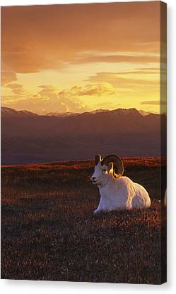 Ram Dall Sheep At Sunset In Front Canvas Print by Michael Jones