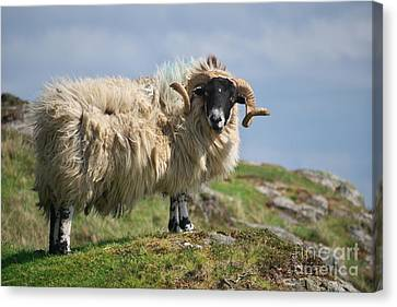 Canvas Print featuring the photograph Ram by Juergen Klust