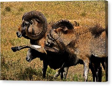 Canvas Print featuring the photograph Rams At Half-time by Doc Braham
