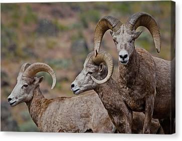 Rams In Three Canvas Print by Athena Mckinzie