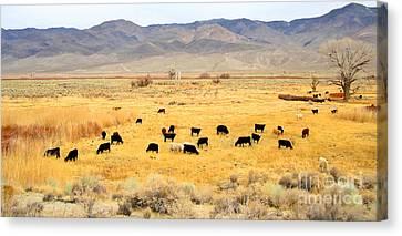 Range Cattle Canvas Print