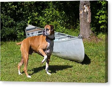 Ranger The Boxer Canvas Print by Stephanie McDowell
