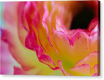 Ranunculus Ruffles Canvas Print