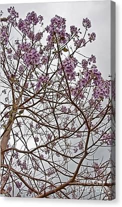 Rare Foxglove Tree - Paulownia Tomentosa  Canvas Print by Valerie Garner