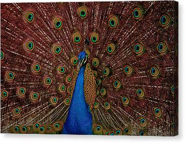 Rare Pink Tail Peacock Canvas Print by Eti Reid