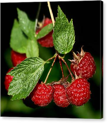 Raspberries Canvas Print by Nikolyn McDonald