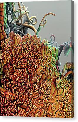 Sem Canvas Print - Raspberry Leaf by Stefan Diller