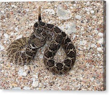 Canvas Print featuring the photograph Rattler by Linda Cox