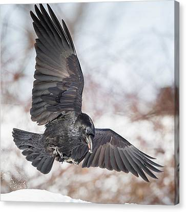 Raven In Flight Square Canvas Print by Bill Wakeley