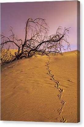 Raven Tracks Across The Sand Dune Canvas Print by Robert L. Potts