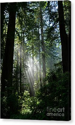 Rays In Redwoods Canvas Print