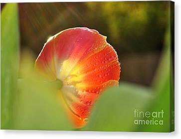 Rays Of Sunshine On Tulip Canvas Print
