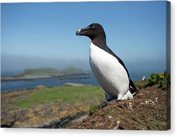 Razorbill On A Coastal Ledge Canvas Print by Simon Booth