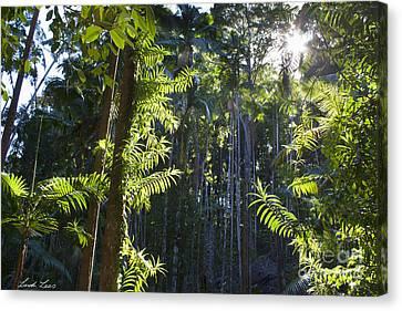 Queensland Kauri Pines Canvas Print - Reach by Linda Lees