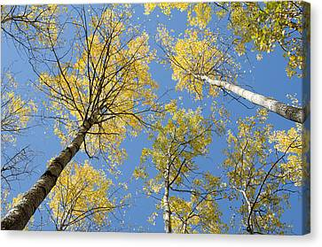 Birch Canvas Print - Reaching For The Sky 2 by Rob Huntley