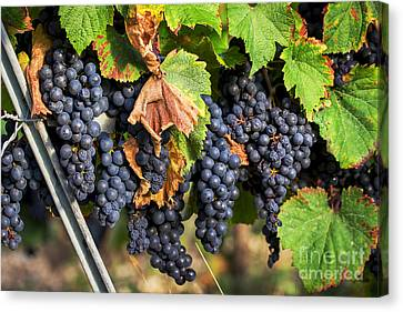 Ready For Picking Canvas Print by Tony Priestley