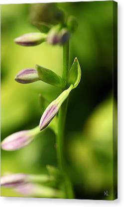 Ready To Bloom Hostas Canvas Print by Karol Livote