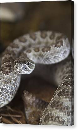 A Rattlesnake Thats Ready To Strike Canvas Print