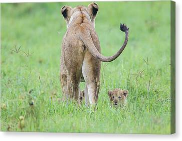 Rear View Of Lioness Facing Away Canvas Print by James Heupel