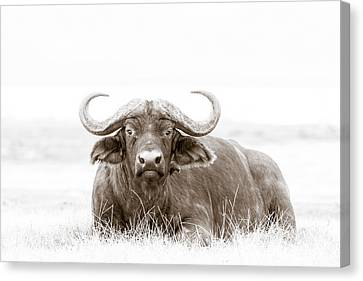 Reclining Buffalo With Oxpecker Canvas Print by Mike Gaudaur