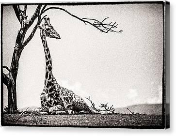 Reclining Giraffe Sepia Canvas Print by Mike Gaudaur