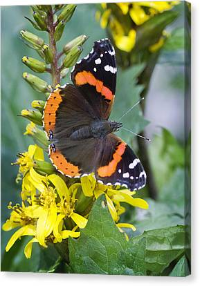 Barbara Smith Canvas Print - Red Admiral by Barbara Smith