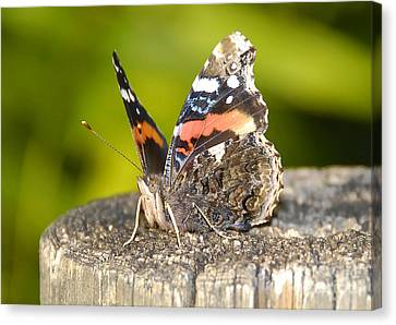 Red Admiral Butterfly Canvas Print by David Lee Thompson