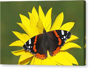 Red Admiral Butterfly Netherlands Canvas Print by Silvia Reiche