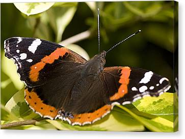 Red Admiral Butterfly Canvas Print by Richard Thomas