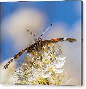 Red Admiral Butterfly On Plum Blossoms Canvas Print