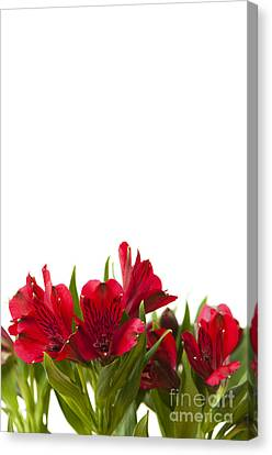 Red Alstroemeria Canvas Print