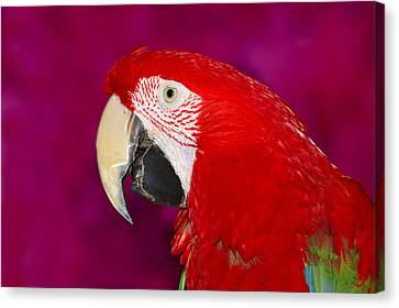 Red And Green Macaw Canvas Print