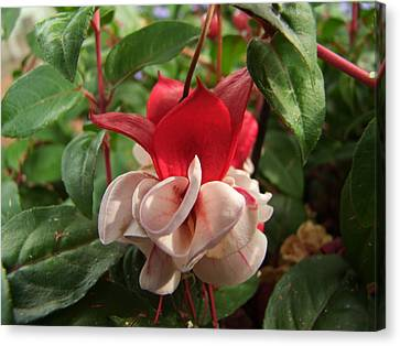 Canvas Print featuring the photograph Red And White Fuschia by Ron Roberts