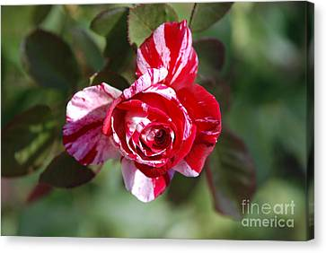 Red And White Canvas Print by George Mount
