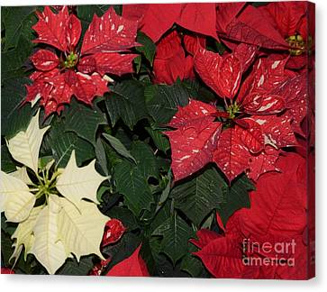 Red And White Poinsettia Canvas Print by Kathleen Struckle
