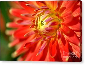 Red And Yellow Dahlia Flower Close Up Canvas Print