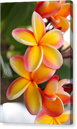 Plumeria Smoothie Canvas Print