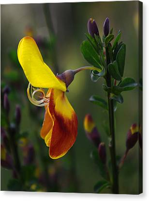 Canvas Print featuring the photograph Red And Yellow Scotchbroom by Adria Trail