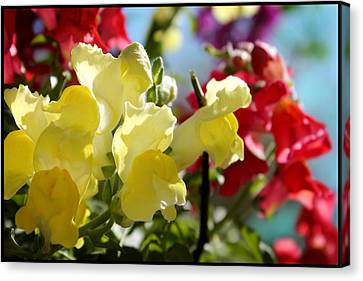 Red And Yellow Snapdragons II Canvas Print by Aya Murrells