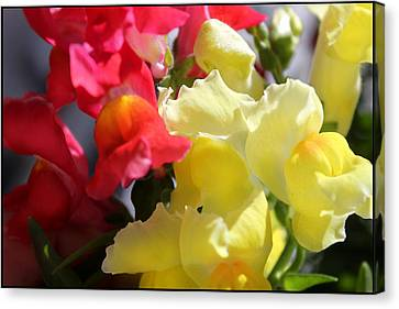 Red And Yellow Snapdragons IIi Canvas Print by Aya Murrells