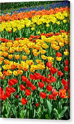 Red And Yellow Tulips Canvas Print by Gynt