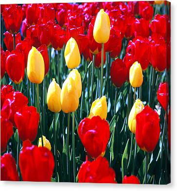 Red And Yellow Tulips - Square Canvas Print