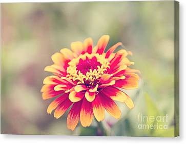 Red And Yellow Zinnia Canvas Print by Erin Johnson