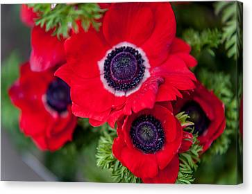 Holland Canvas Print - Red Anemone. Flowers Of Holland by Jenny Rainbow