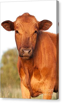 Red Angus Cow Canvas Print by Cindy Singleton