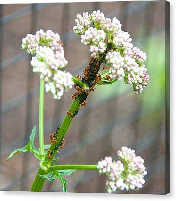 Red Ants And Valerian Officinalis Canvas Print