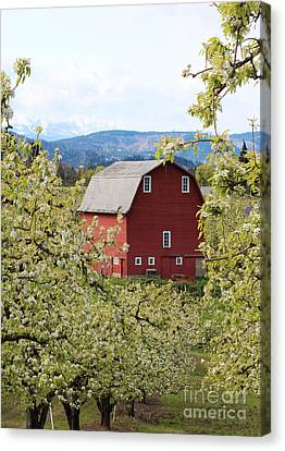 Canvas Print featuring the photograph Red Barn And Apple Blossoms by Patricia Babbitt
