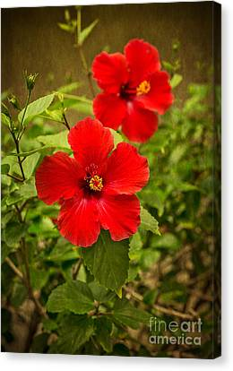 Red - Beautiful Hibiscus Flowers In Bloom On The Island Of Maui. Canvas Print by Jamie Pham